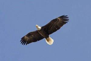 020810-eagle_in-flight2
